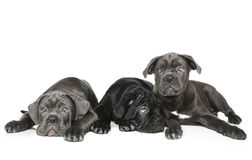 Three Cane Corso puppy Stock Photos