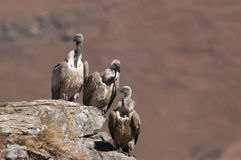 Three Cape Vulture's sitting on a rock ledge at various heights Royalty Free Stock Photo
