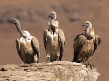 Three Cape Vulture's sitting in a row on a rock ledge looking in the same direction Royalty Free Stock Photography