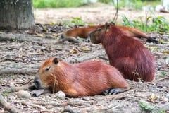 Three Capybaras Stock Images
