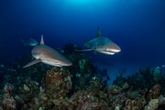 Three Caribbean reef sharks. Near Eleuthra in the Bahamas, there are opportunities to get very close to Caribbean Reef Sharks. December Royalty Free Stock Images