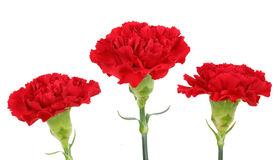 Three carnation flowers Royalty Free Stock Photos