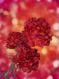Three carnations Royalty Free Stock Photo