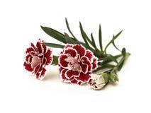 Free Three Carnations Royalty Free Stock Image - 29184436