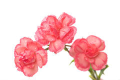 Three Carnations Royalty Free Stock Images