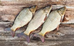 Three carp fish over old wooden board Royalty Free Stock Photography