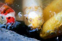 Three Carp Searching Food. Three Carp, Japanese Koi, searching for food Stock Photo