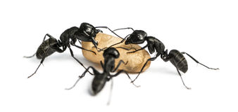 Three Carpenter ants, Camponotus vagus, carrying an egg Stock Photos