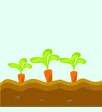 Three carrots grow in the ground Stock Photos