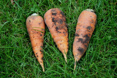 Three carrots lay on a grass Stock Images