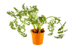 Three carrots with leaves in orange tinl backet Stock Photo