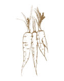 Three carrots Stock Images