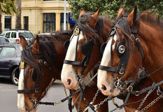 Three Cart Horses. Three cart horse with bridles and reins Stock Images