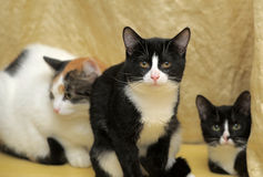 Three cat Royalty Free Stock Image