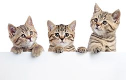 Three cat kittens peeking out of a blank sign, isolated on white background Royalty Free Stock Images