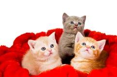 Three cat in velvet. Three little british shorthair kittens cat isolated sitting in red velvet Stock Photo