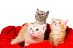 Three cat in velvet. Three little british shorthair kittens cat isolated sitting in red velvet Royalty Free Stock Images