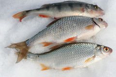 Three catching fishes on the snow Royalty Free Stock Photography