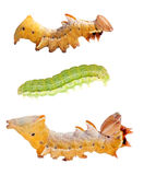 Three Caterpillars Isolated On White Royalty Free Stock Image
