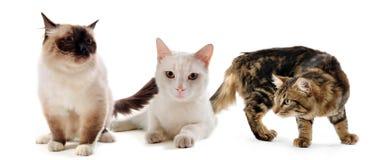 Three cats Royalty Free Stock Photos