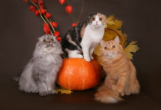 Three cats in the autumn still life. Three cats in the autumn still life with leaves and pumpkin stock images