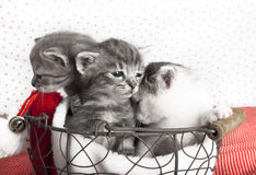Three cats babies. Three cats baby in a basket, a few days old, in the background red dots Royalty Free Stock Photography