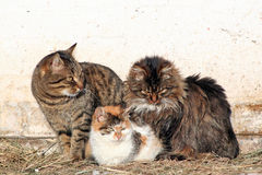 Three cats Royalty Free Stock Images