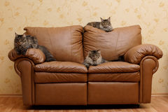Three cats on a couch Stock Images