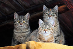 Three cats Stock Images
