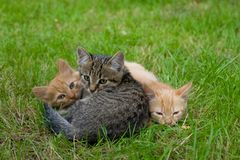 Three cats friends Royalty Free Stock Image