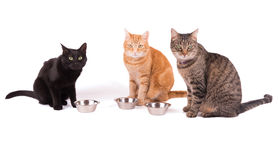 Three cats sitting behid their food bowls Stock Image