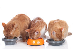 Three cats sitting at their food bowls Royalty Free Stock Image
