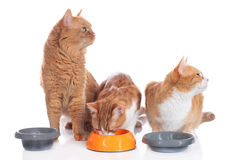 Three cats sitting at their food bowls Royalty Free Stock Photography