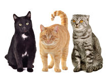 Three cats together. Against white background royalty free stock photography