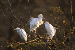 Three Cattle egrets in Kruger National park Royalty Free Stock Photos