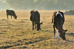 Three Cattle Grazing Royalty Free Stock Images