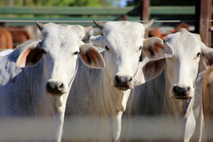 Three cattle 4064 Royalty Free Stock Photos