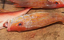 Three, caught red snapper fish Royalty Free Stock Photo