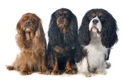 Three cavalier king charles Stock Images