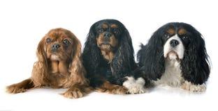 Three cavalier king charles Royalty Free Stock Photos