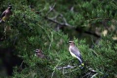 Three Cedar Waxwing Birds In Cedar Tree Royalty Free Stock Images
