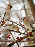 Three cedar waxwings Royalty Free Stock Photography