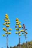 Three Century Plants Royalty Free Stock Photography