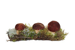 Three cep mushroom grown into the moss Royalty Free Stock Images