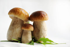 Three cepes. Family, portrait. Three cepes. Family, portrait largely Royalty Free Stock Photography