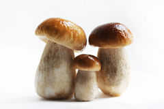 Three cepes. Family, portrait. Three cepes. Family, portrait largely Stock Images