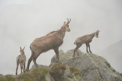 Three chamois in fog in Tatra mountains Stock Photos