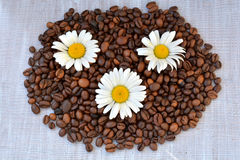 Three chamomile and coffee beans background. Chamomile and raw coffee beans on white, wooden texture. Royalty Free Stock Photos