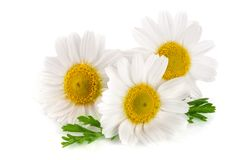 Three chamomile or daisies with leaves isolated on white background.  stock photo