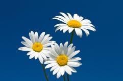 Three chamomiles against blue sky Royalty Free Stock Photo